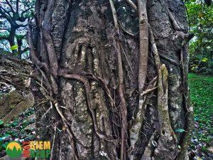 Tree at Ak Yum